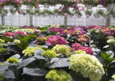 Erivärisiä hortensioita kasvamassa kasivhuoneessa.
