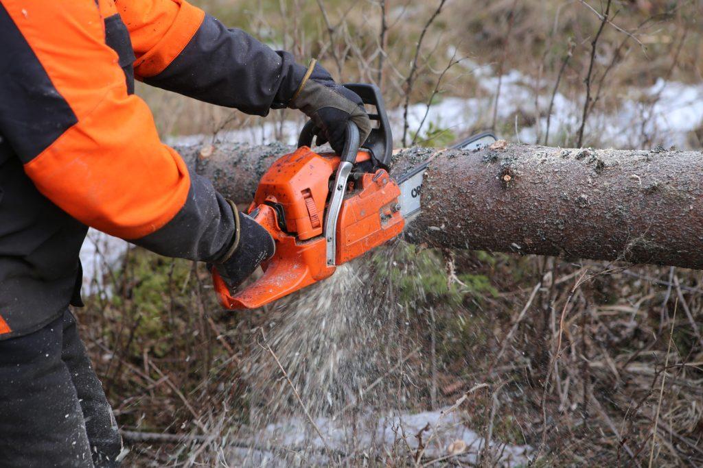 Metsuri sahaa moottorisahalla kaadettua puuta.
