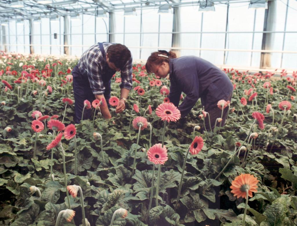 Vanhassa värikuvassa mies ja nainen työskentelevät kasvihuoneessa gerberoiden keskellä.