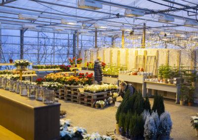 Joulukukkia kasvihuoneen myymälässä.