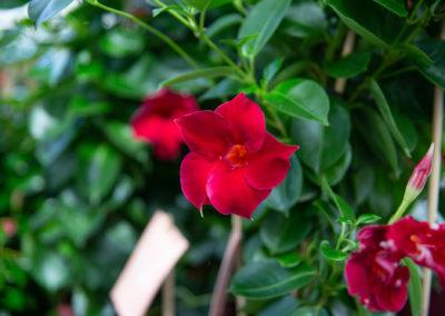 Maljaköynnöksen punainen kukka.